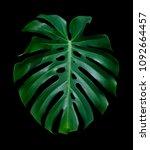 monstera deliciosa tropical... | Shutterstock . vector #1092664457