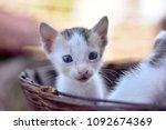 Stock photo kittens in old basket indian kittens animals 1092674369