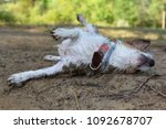 Small photo of DIRTY JACK RUSSELLL DOG WALLOW IN THE MUD