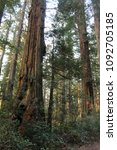 Small photo of Inland Redwood canopy