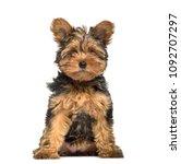 Yorkshire Terrier Puppy   3...