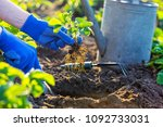 planting strawberries in the... | Shutterstock . vector #1092733031