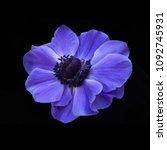 flower windflower anemone | Shutterstock . vector #1092745931