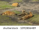herd of hyenas in the mud.... | Shutterstock . vector #1092806489