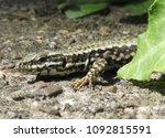 lizard in the nature | Shutterstock . vector #1092815591