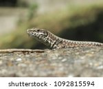 lizard in the nature | Shutterstock . vector #1092815594