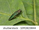 emerald ash borer sitting on a... | Shutterstock . vector #1092823844
