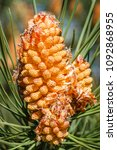 Small photo of Male inflorescences. Maritime pine, resinero. Pinus pinaster.