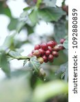 coffee beans in coffee tree | Shutterstock . vector #1092880859