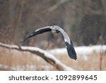 grey heron  ardea cinerea | Shutterstock . vector #1092899645