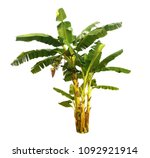 banana tree isolated with... | Shutterstock . vector #1092921914