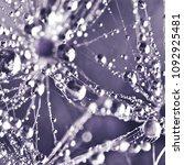 dandelion in droplets  macro | Shutterstock . vector #1092925481