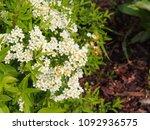 spiraea cinerea 'grefsheim' ... | Shutterstock . vector #1092936575