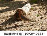 cute house finch sitting on... | Shutterstock . vector #1092940835