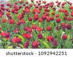 beautiful red tulip flowers... | Shutterstock . vector #1092942251