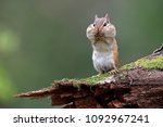 Eastern chipmunk  tamias...