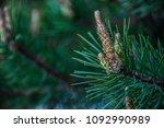 pine sprout closeup | Shutterstock . vector #1092990989