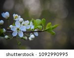 apple flowers on branch closeup | Shutterstock . vector #1092990995