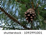 cone on pine close up | Shutterstock . vector #1092991001