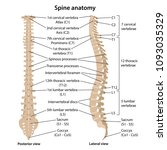 human vertebral column in... | Shutterstock .eps vector #1093035329
