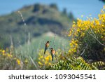 merops apiaster birds stays on... | Shutterstock . vector #1093045541