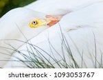 american white pelican close up | Shutterstock . vector #1093053767