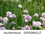 chives in the garden with... | Shutterstock . vector #1093084217