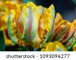 Flower   A Bulb Of Tulip 'iren...