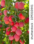 Red cherry plum in the sun. Natural background - stock photo