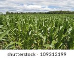 """""""Cornfield Wide View"""" A wide angle view of a cornfield with a dramatic sky in Central, New Jersey. - stock photo"""