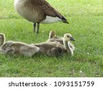 Canada Goose, Goslings, Canadian Geese in natural habitat. Adult and young yellow goslings.