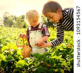 boy picking strawberries in a... | Shutterstock . vector #1093154567