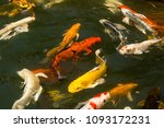 koi fish swimming beautiful... | Shutterstock . vector #1093172231