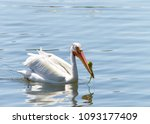 Small photo of White Pelican swimming in blue water. In breeding season, there is a laterally flattened horn on the upper bill, which has algae stuck on it. The horn is shed after the birds have mated and laid eggs.