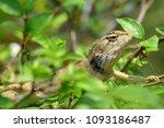 green lizard. beautiful animal... | Shutterstock . vector #1093186487