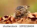 Stock photo adorable lonely baby hare 1093218404