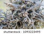 reindeer lichen cladonia... | Shutterstock . vector #1093223495