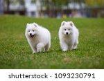 white samoyed puppy dog outdoor ...   Shutterstock . vector #1093230791
