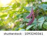 purple hyacinth bean  lablab...   Shutterstock . vector #1093240361