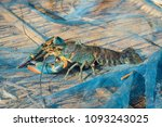 red claw crayfish or lobster   Shutterstock . vector #1093243025