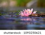 beautiful flowering pink water... | Shutterstock . vector #1093250621