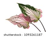 Caladium Bicolor With Pink Lea...