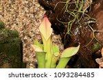 as carnivorous plants ...   Shutterstock . vector #1093284485