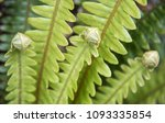 unfurling fern leaves growing... | Shutterstock . vector #1093335854