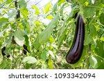 turkey   antalya  eggplant... | Shutterstock . vector #1093342094