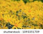 sunflowers  japan. field of... | Shutterstock . vector #1093351709