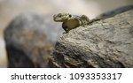 big lizard enjoying the warmth... | Shutterstock . vector #1093353317