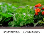 the young lettuce and vegetable ... | Shutterstock . vector #1093358597