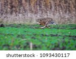 Stock photo cute hare runs really fast because it is chasing by an eagle hunter and prey the european hare 1093430117