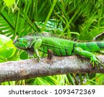 cute green iguana  latin  ... | Shutterstock . vector #1093472369